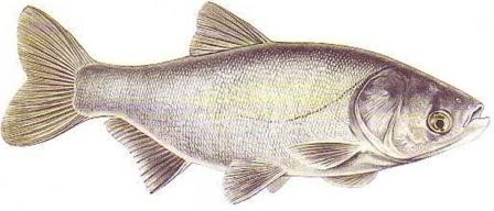 рыба толстолобика