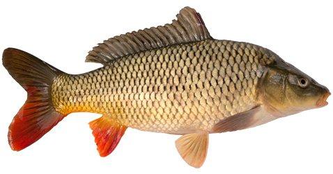 Рыба карп