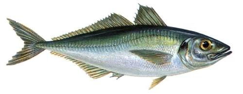 Рыба ставрида